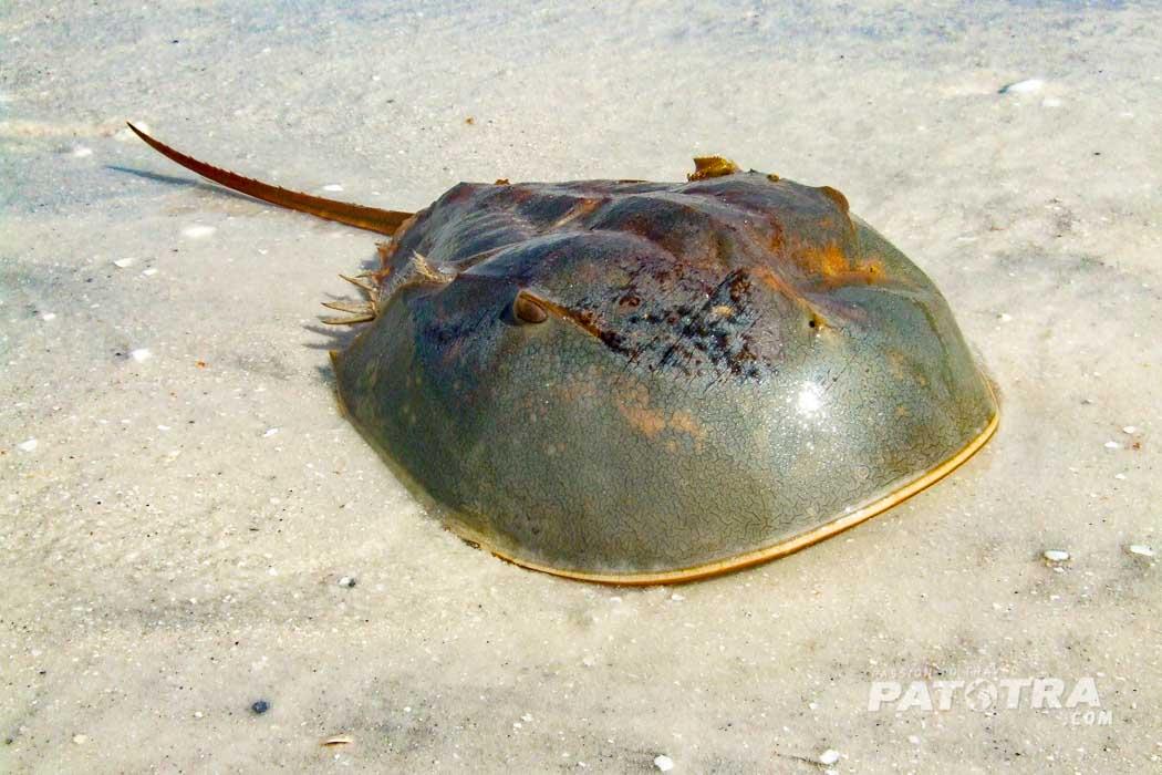 Pfeilschwanzkrebs - Horse Shoe Crab