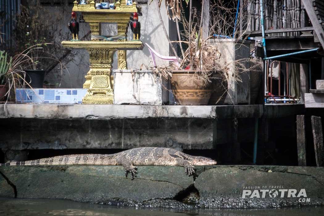 Leguan in Bangkok