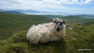 Top 3 Sheep