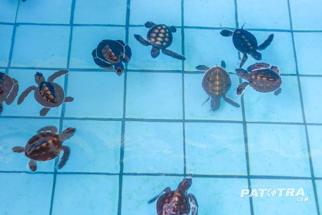 Meerschildkröten