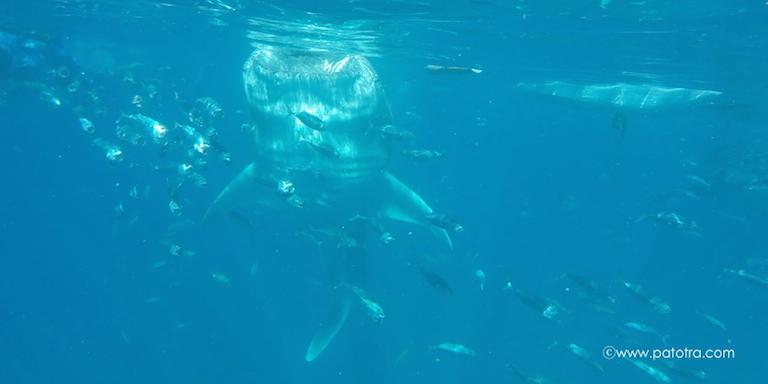 Schorcheln mit Walhaien