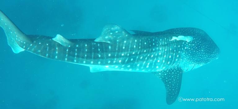 Walhaie Cebu Schnorcheln