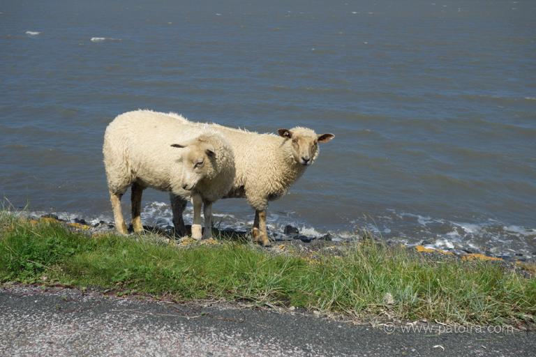 Schafe Deichpflege