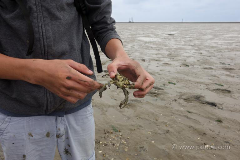 Wattwandern Krabbe