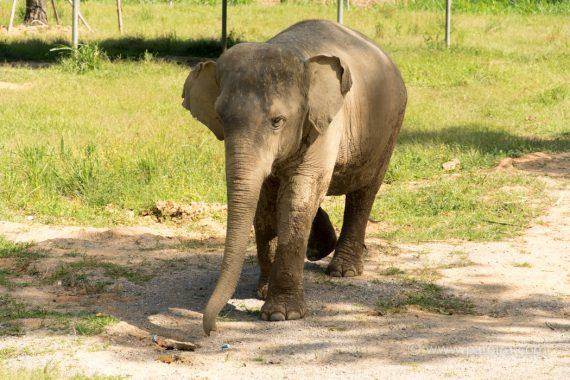 kleiner Elefant Khao Sok