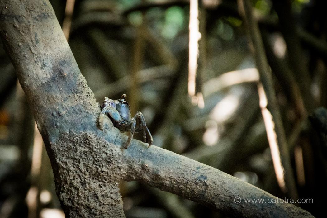 Krebs Mangroven