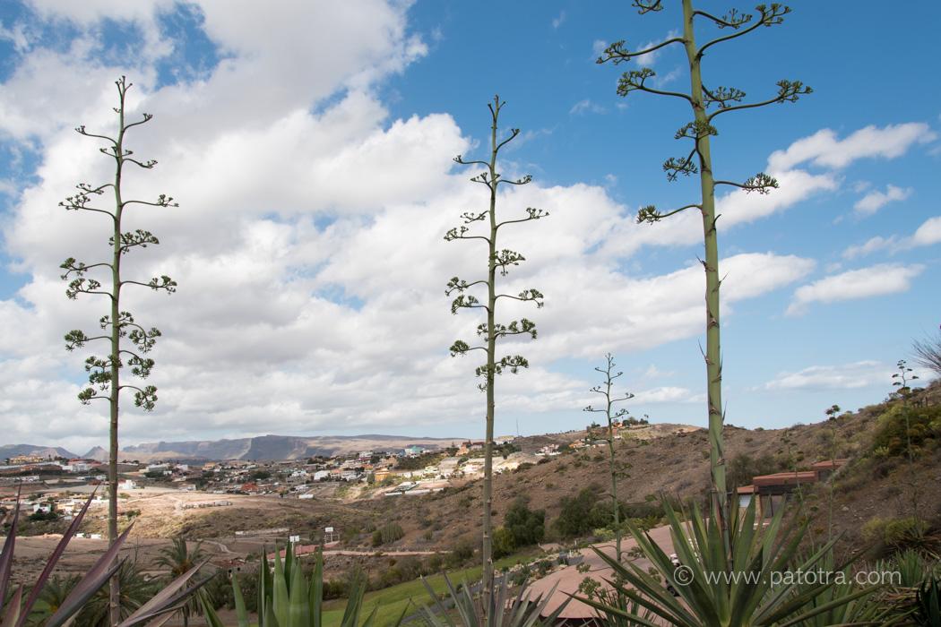 Agaven Gran Canaria