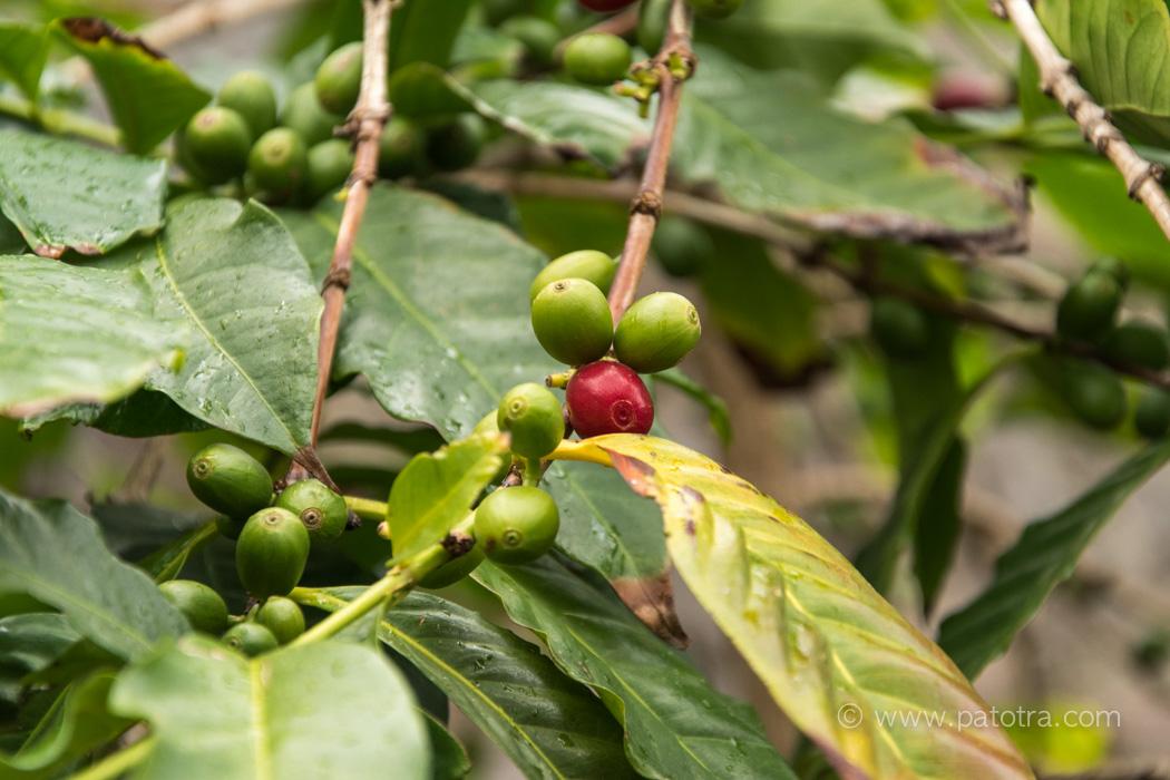 Kaffefrucht
