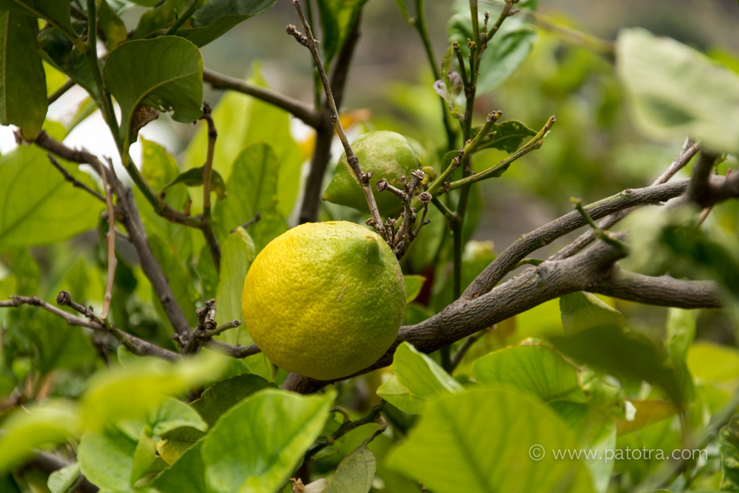 Zitronen Gran Canaria