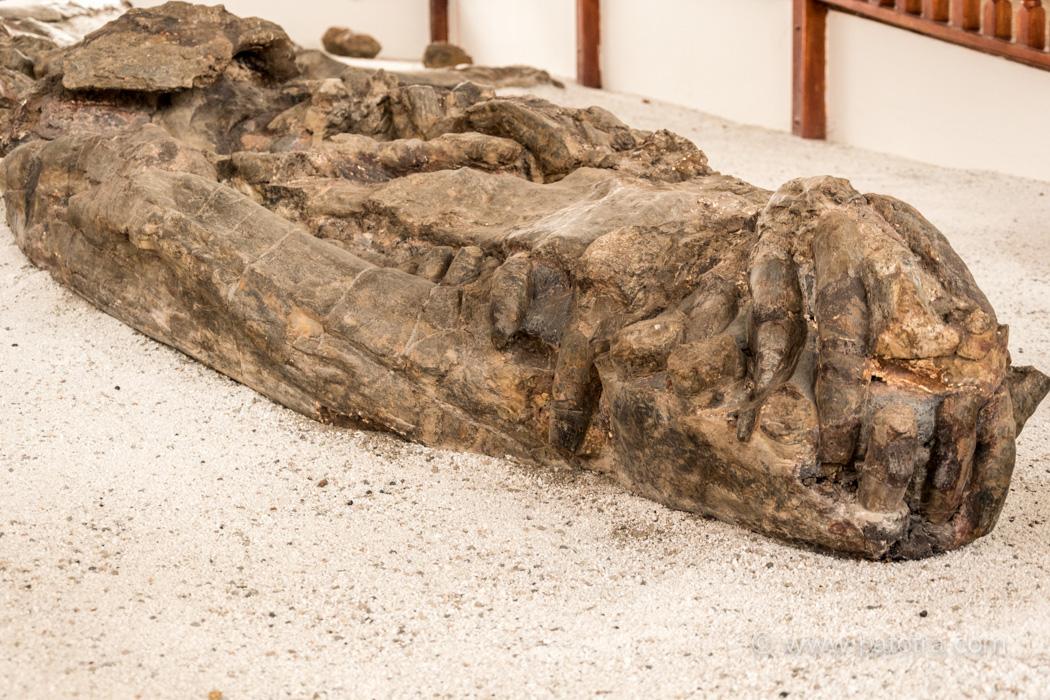 Kronosaurier, Museo el Fosil