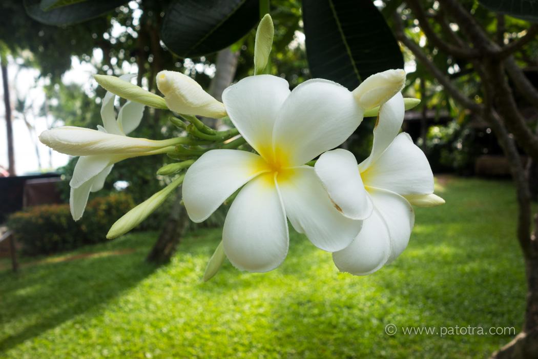 Blume Samui