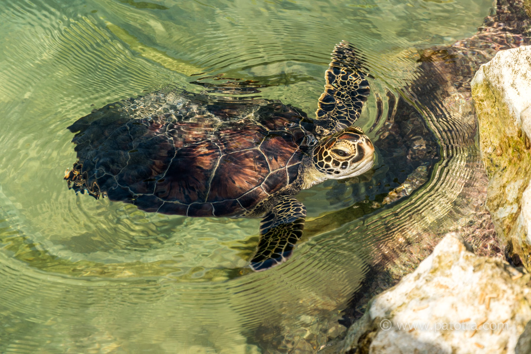 Eine Meerseschildkröte schwimmt im Wasser und holt Luft