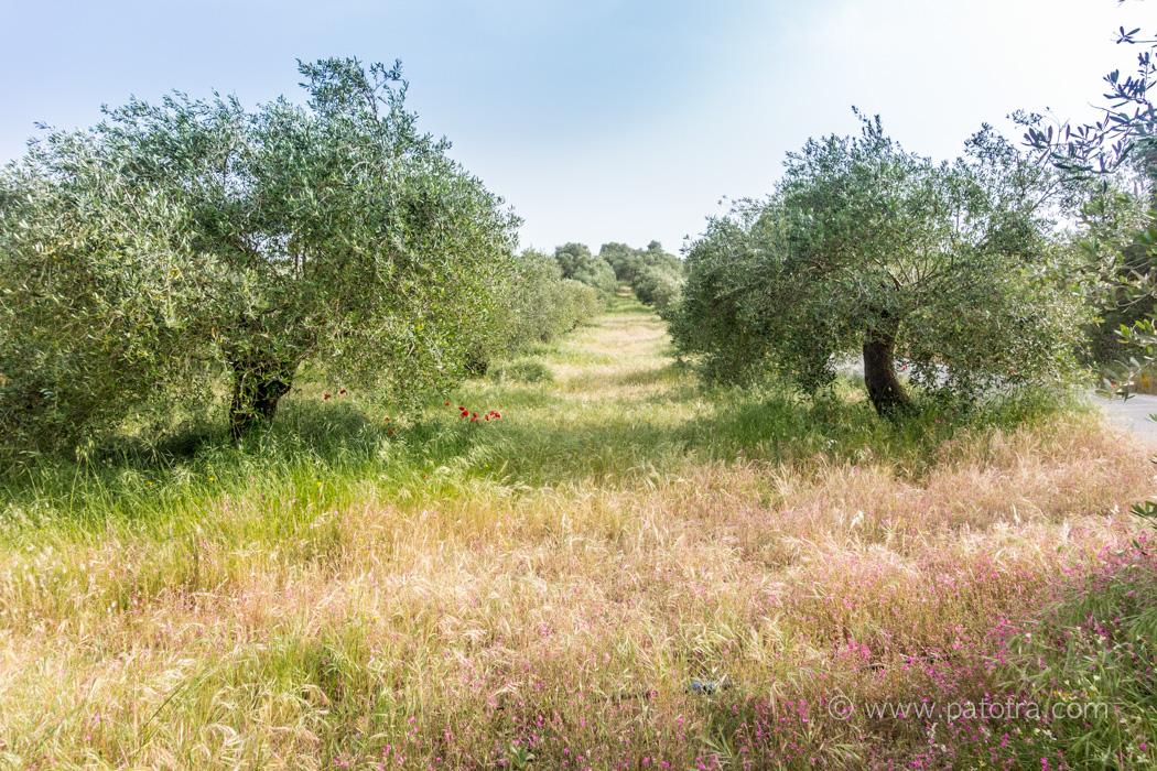 Olivenhain Korfu Tagestouren mit dem Mietwagen