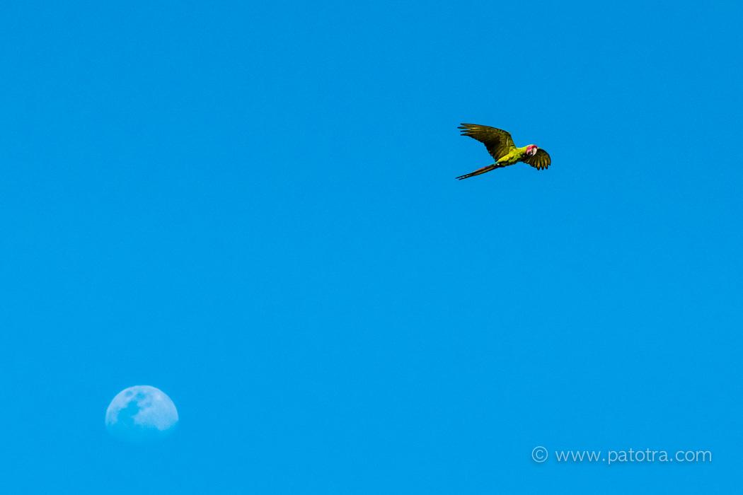 Fliegender Grosser grüner Ara vor dem Mond