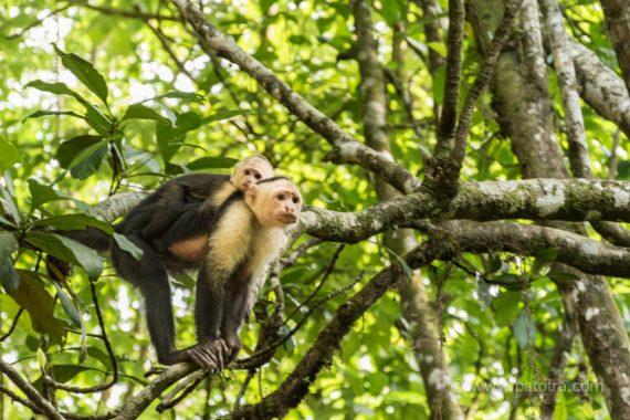 Affen im Nationalpark von Manuel Antonio