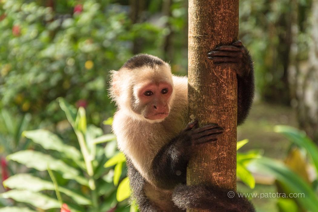 Kapuzineraffe Tortuguero Nationalpark