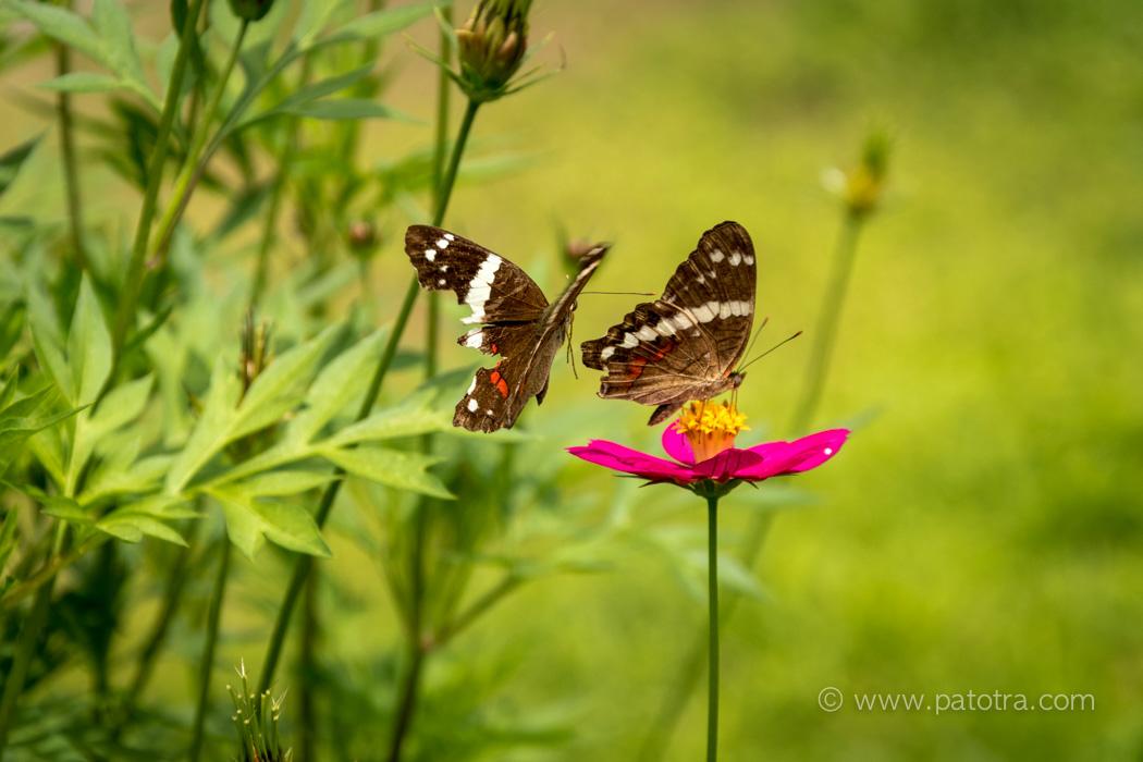 Schmetterlinge Tortuguero Park