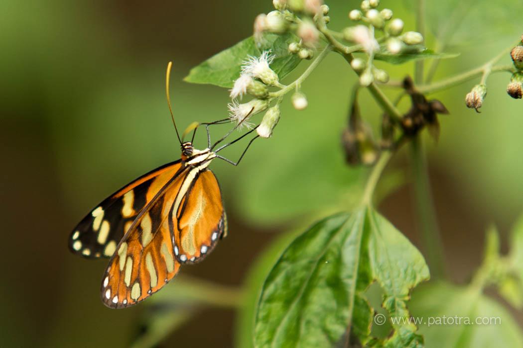 Schmetterling Rincon de la Vieja