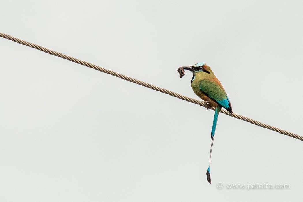 Costa Rica Motmot