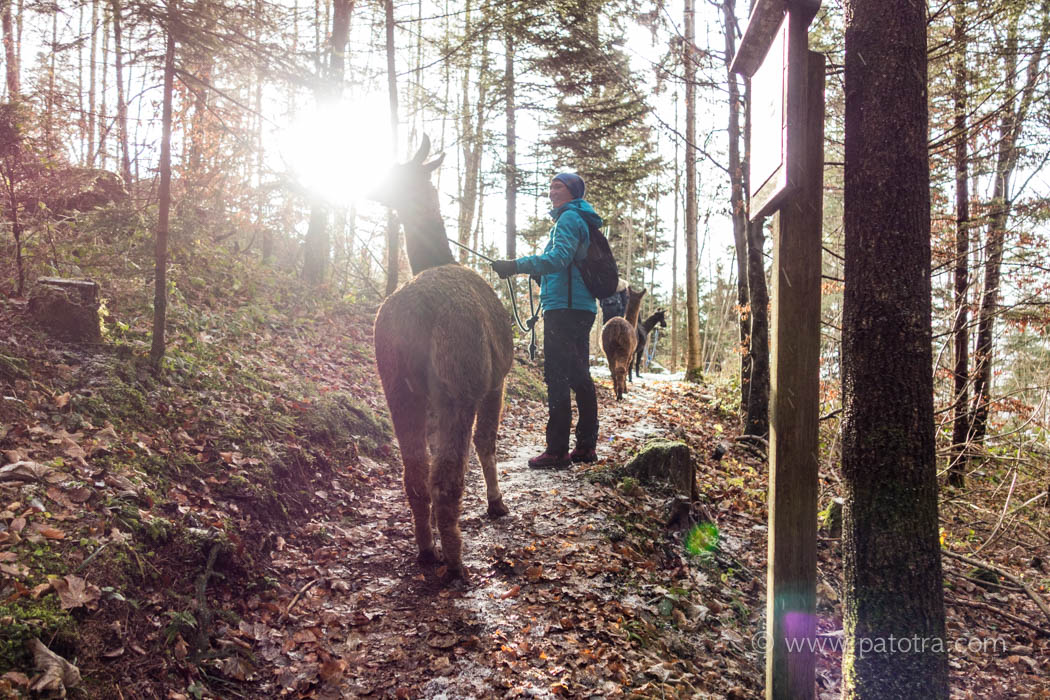 Lama Trekking im Wald