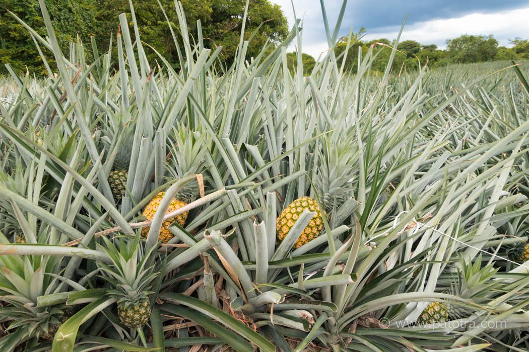 Ananasplantage