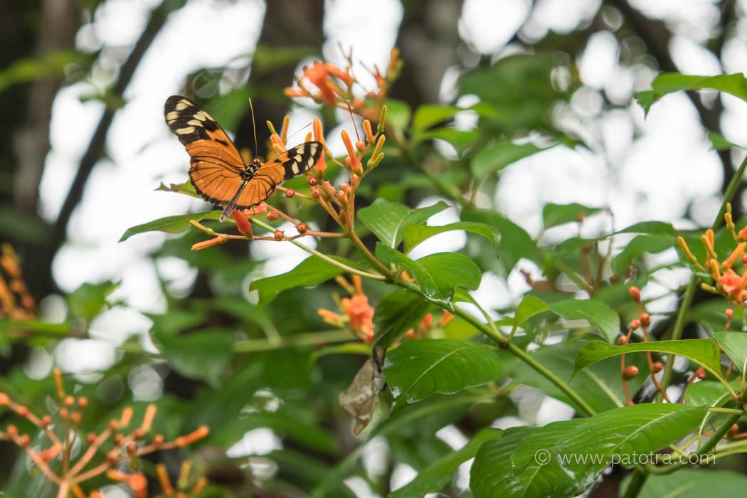 Schmetterling Manuel Antonio