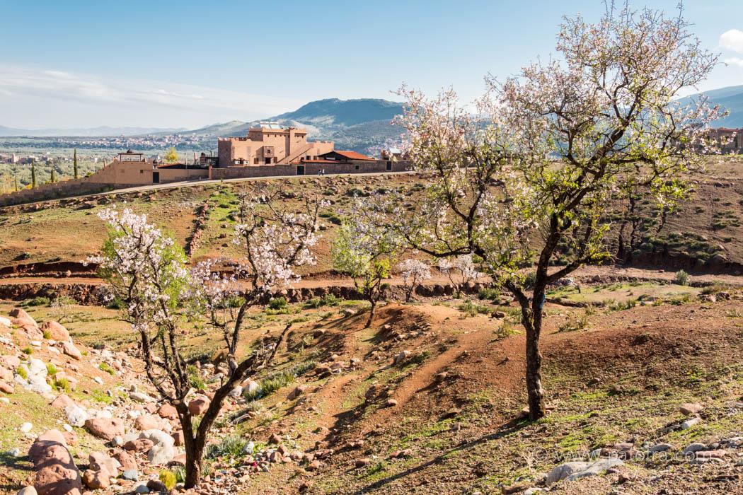 Mandelblüte in Marokko