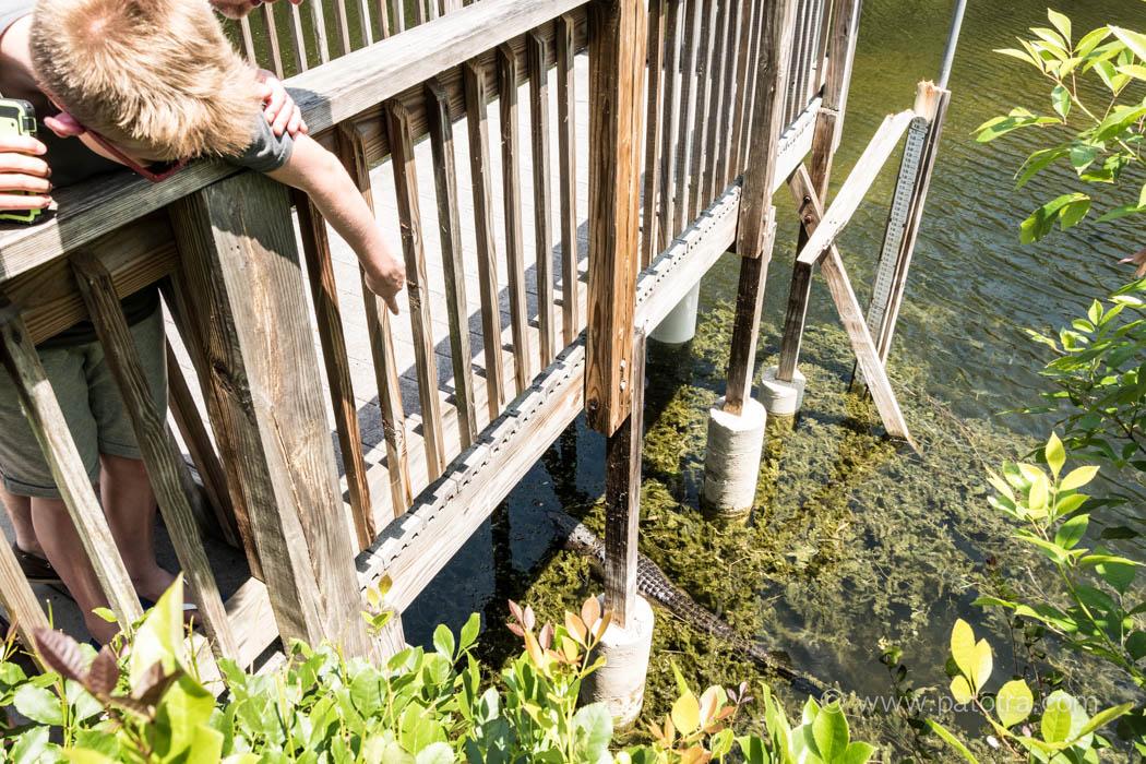 Alligator Beobachtung Florida