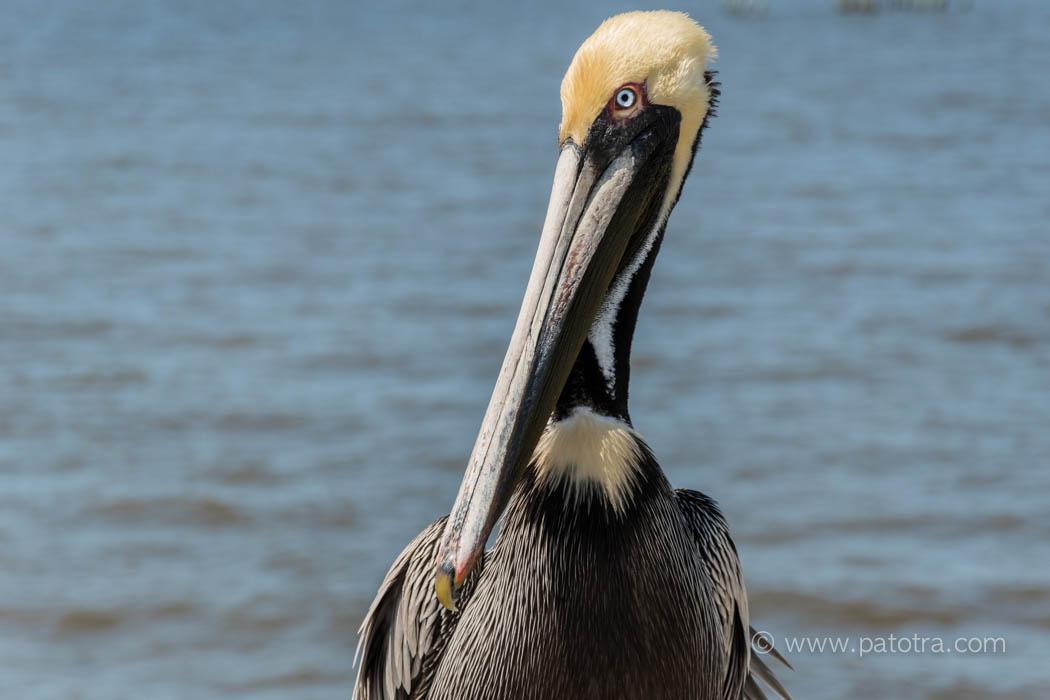 Pelikan Cedar Key
