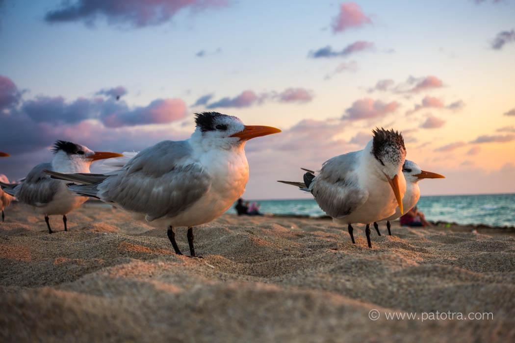 Königsseeschwalbe Strand Miami