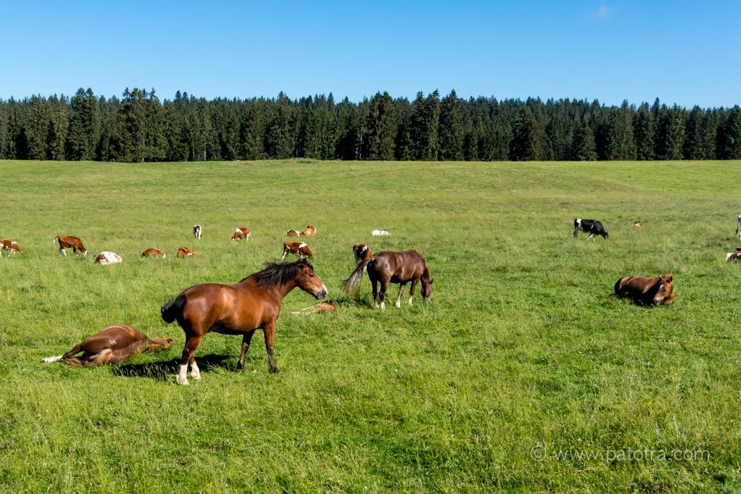 Freiberger Pferde mit Kühen auf der Weide