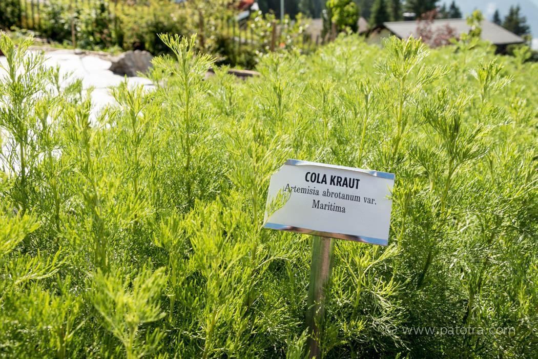 Cola Pflanze