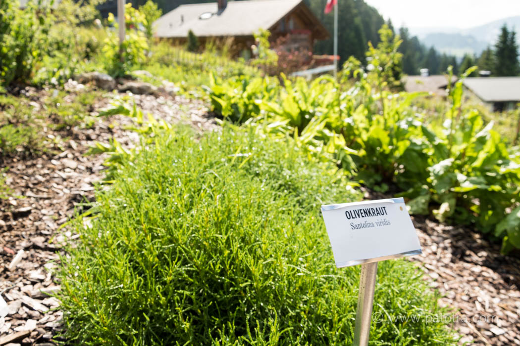 Olivenkraut Rigi