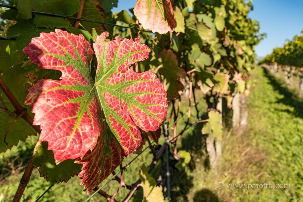 Weinreben mit Herbstlaub