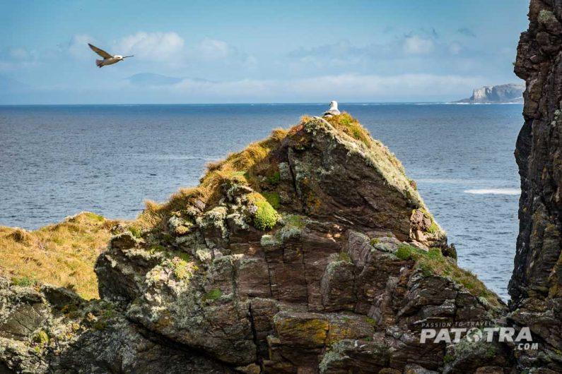 Moewennest auf Inishbofin