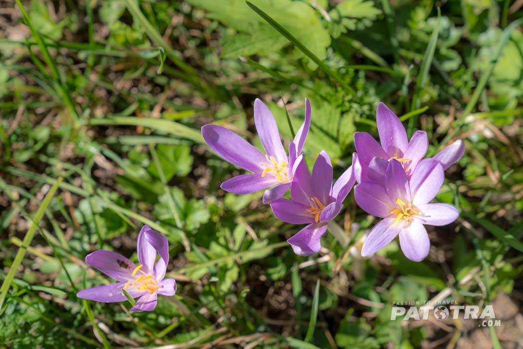 Die Herbstzeitlose blüht und manche Wiesen schimmern in hellem violett