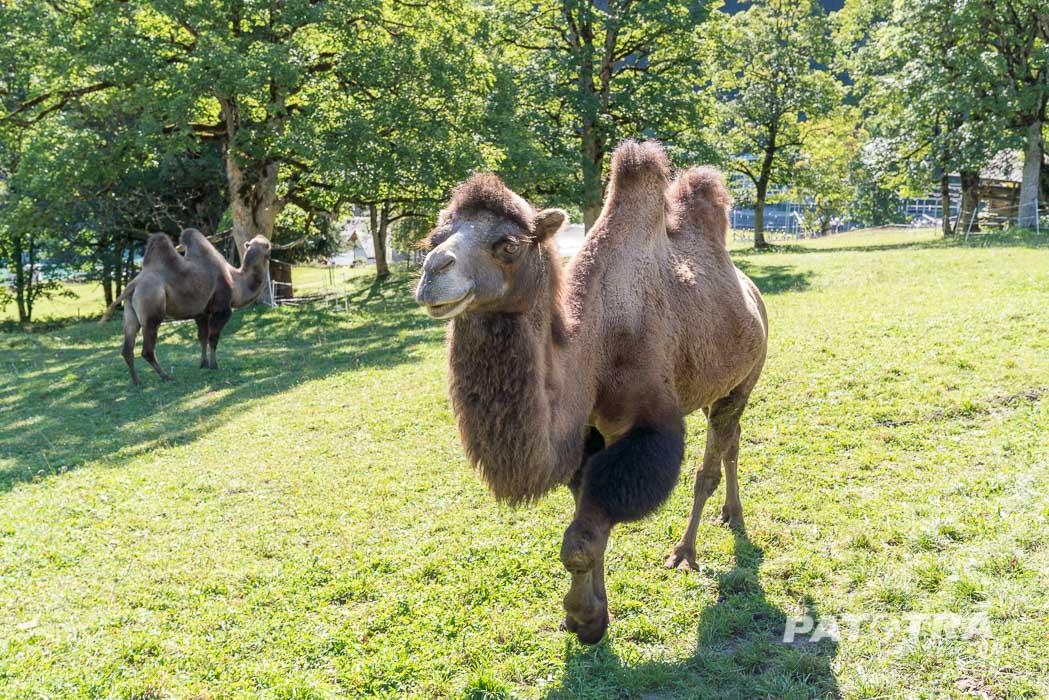 Kamele im Safiental