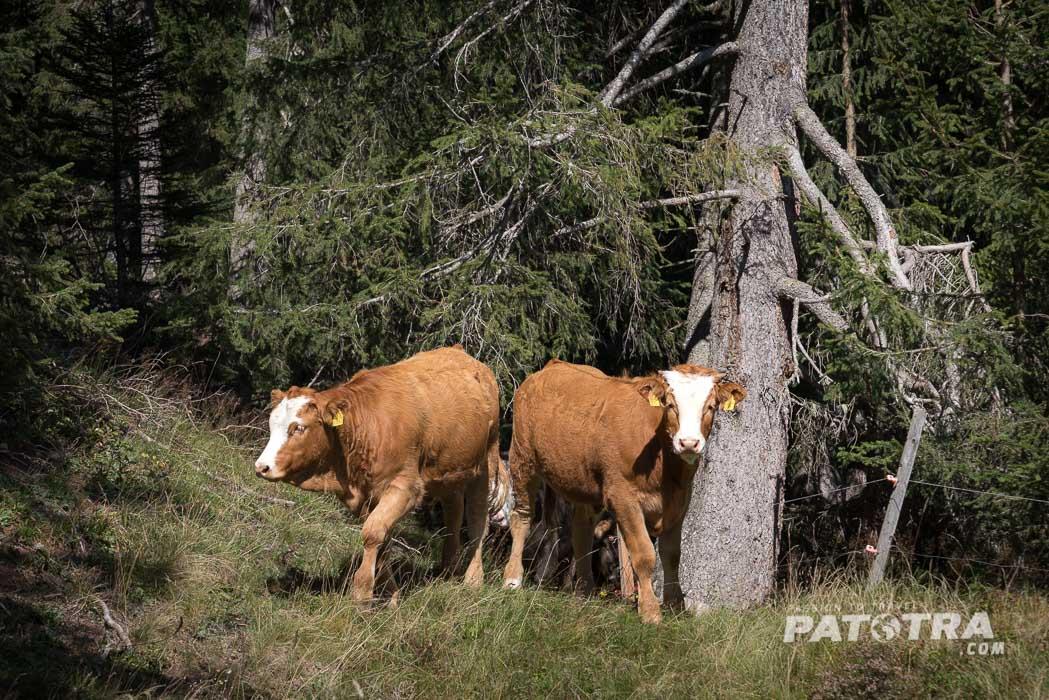 Zwillings-Kälbchen im Wald