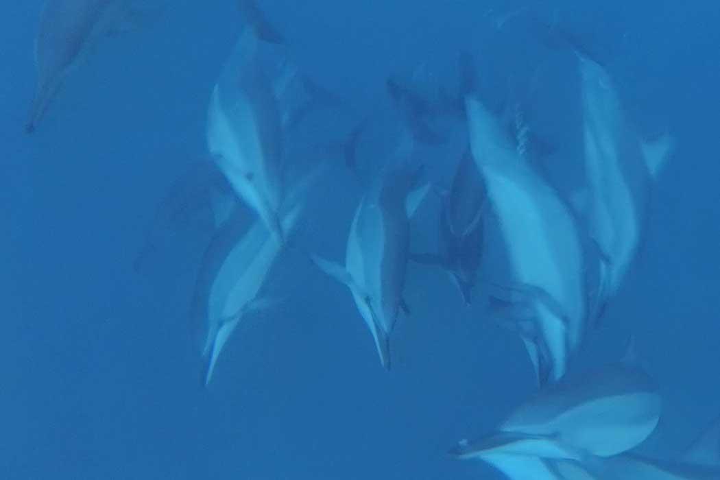 Delfine auf Mauritius