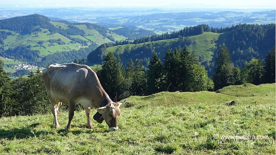 Kuh auf der Chruezegg