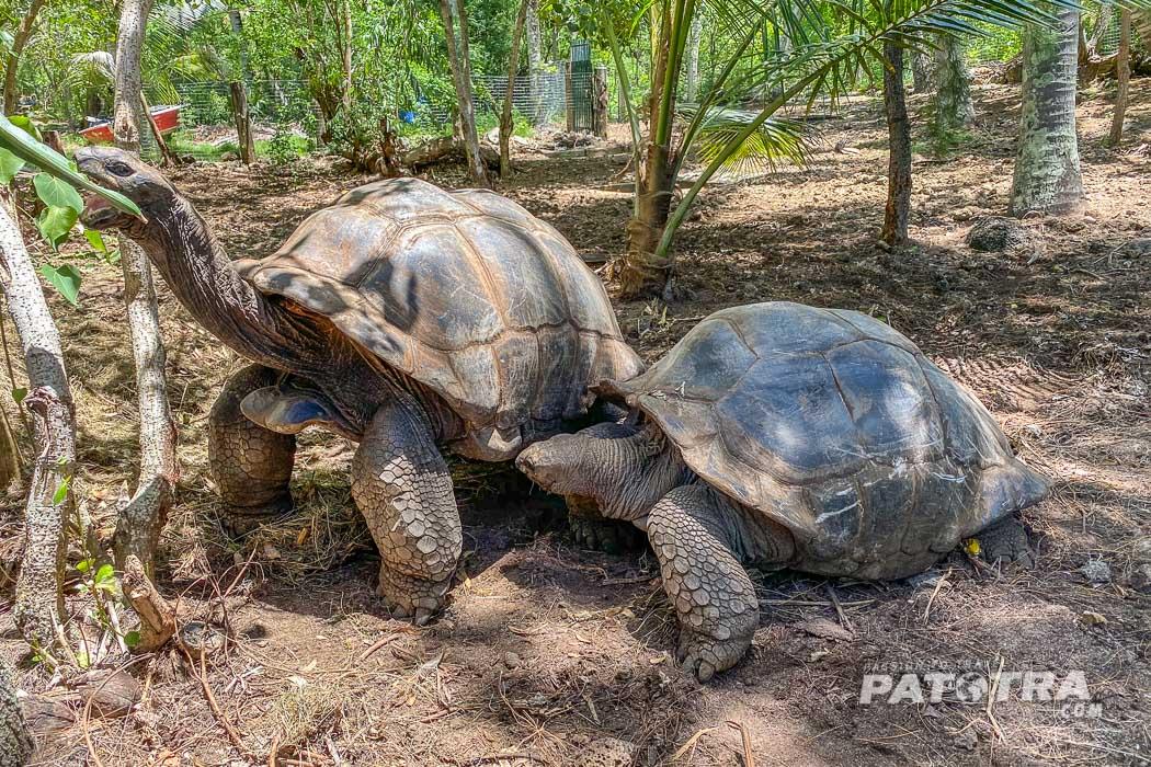 Reisenschildkröten auf Mauritius