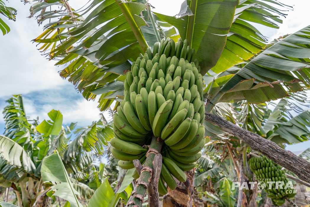 Üppige Bananenbüschel