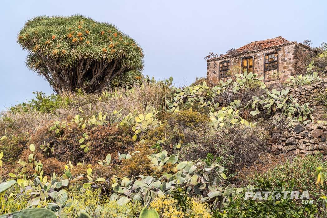 Ein grosser Drachenbaum neben einem verlassenen Haus