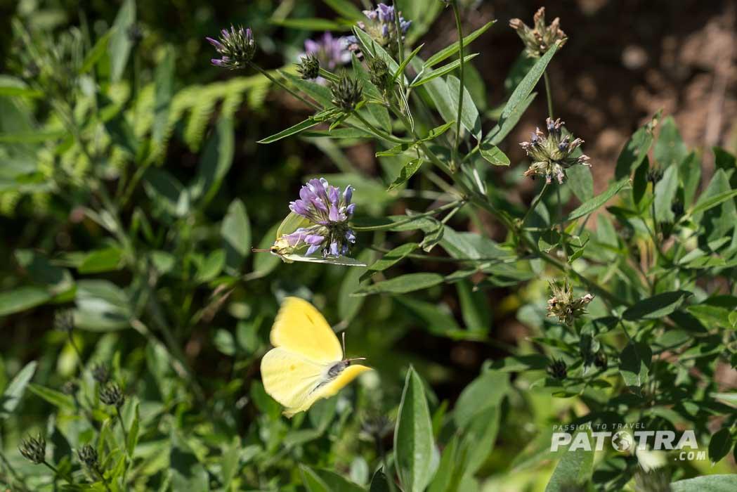 Schmetterlinge laben sich an den Blüten