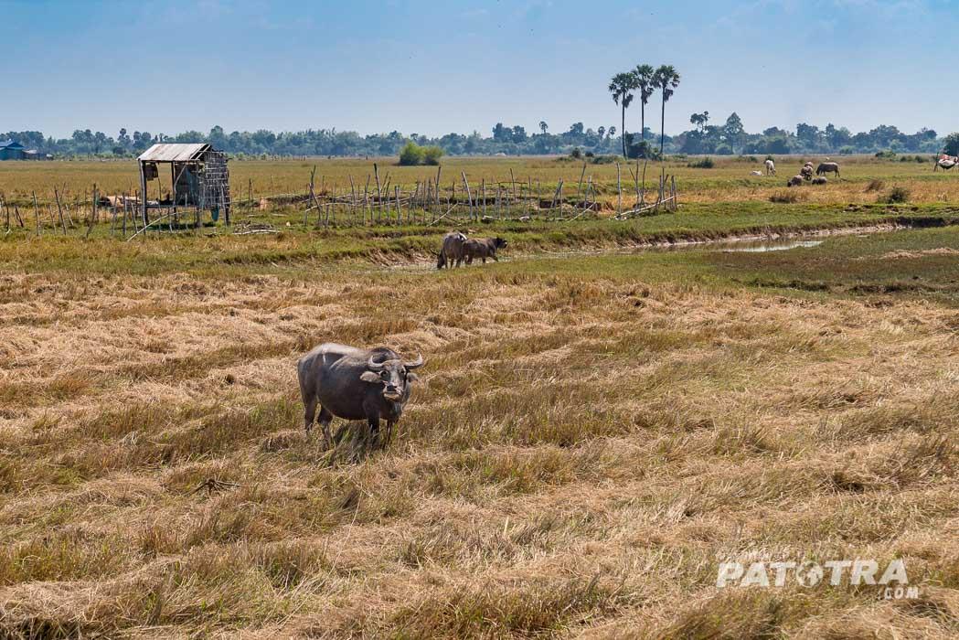 Reisfelder und Büffel